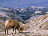 Bighorn Sheep, Yellowstone National Park, WY Photographic Print by Amy And Chuck Wiley/wales