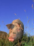 Pig in a Field Photographic Print by Lynn M. Stone
