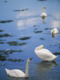 Swans, County Down, Strangford, Ireland Photographic Print by Kindra Clineff