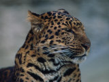 Close-up of Leopard Photographic Print by Elizabeth DeLaney