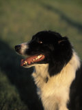 Border Collie Dog Outdoors Photographic Print by Peggy Koyle