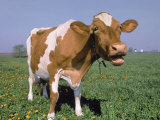 Close-up of Cow Mooing in a Field Photographic Print by Lynn M. Stone