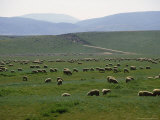 Grazing Sheep Near Lancaster, PA Photographic Print by Michele Burgess