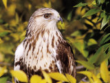Rough Legged Hawk Photographic Print by Russell Burden