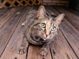 Cat Lying on Wooden Floor Photographic Print by Greg Smith