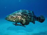 Jewfish with Sharksucker Under It Fotografisk tryk af Mike Mesgleski