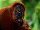 Mother Orangutan with Baby, Pongo Pygmaeus Photographic Print by D. Robert Franz
