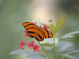 Close-up of Butterfly, St. Croix, VI Photographic Print by Ed Lallo