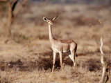 Gerenuk, Samburu National Park, Kenya Photographic Print by Elizabeth DeLaney