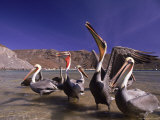 Grey Pelicans, Mexico Photographic Print by Mitch Diamond