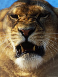 Close-up of Lioness Growling Photographic Print by Tim Lynch