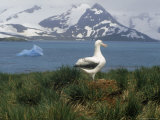 Albatross, Falkland Islands Photographic Print by Ernest Manewal