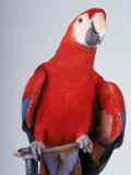 Scarlet Macaw Fotografisk tryk af Dan Gair