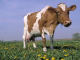 Guernsey Cow in Field of Dandelions, IL Photographic Print by Lynn M. Stone