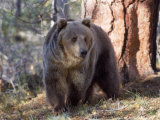 Grizzly Bear in Woods of North America Photographic Print by Amy And Chuck Wiley/wales