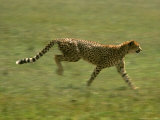 Cheetah, Africa Photographic Print by John Dominis