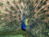 Male Peacock (Paro Cristatus) Photographic Print by Peggy Koyle