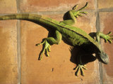 Green Iguana on Tile Photographic Print by Jacque Denzer Parker