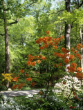Azalea Way, Botanical Gardens, Bronx, NY Photographic Print by Lauree Feldman