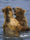 Grizzly Bears Playing, Alaska Photographic Print by Lynn M. Stone