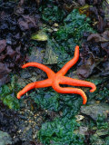 Orange Starfish on Rocks Photographic Print by Amy And Chuck Wiley/wales