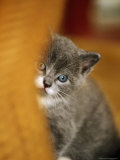 Grey Persian Kitten Photographic Print by Jim Oltersdorf