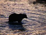 Silhouetted Grizzly Bear Wading Through Water Photographic Print by D. Robert Franz