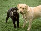Two Dogs with Rope in Mouth Photographic Print by Bruce Ando