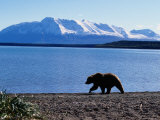 Silhouetted Grizzly Bear Walking Near Water Fotografiskt tryck av D. Robert Franz