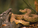 Rattlesnake Coiled Photographic Print by D. Robert Franz