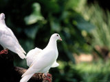 Doves Photographic Print by Bill Romerhaus