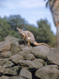 Rock Wallaby Photographic Print by John Dominis