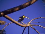 Toucan in Tree, Costa Rica Photographic Print by Grayce Roessler