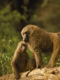 Baboons on a Log Outdoor Fotografie-Druck von Elizabeth DeLaney
