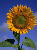 Sunflower Photographic Print by Eric Horan