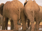 Rear View Elephants, Addo Elephant National Park, South Africa Photographic Print by Walter Bibikow