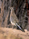 Greater Roadrunner, New Mexico Photographie par Elizabeth DeLaney