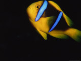 Yellow and Blue Anemone Fish Photographic Print by Stuart Westmorland