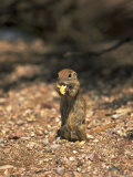 Ground Squirrel, Phoenix Zoo, AZ Photographic Print by James Lemass