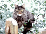 Portrait of Cat on Fence in Snow Photographic Print by Chris Lowe