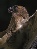 Red Tail Hawk Photographic Print by Harold Wilion