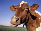 Guernsey Cow Close-up Stampa fotografica di Lynn M. Stone