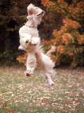 Dog Jumping in Air Photographic Print by John Dominis