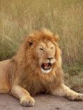 Lion, Masai Mara Game Resv, Kenya, Africa Fotografie-Druck von Elizabeth DeLaney