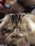 Purebred Persian Cat Photographic Print by Lynn M. Stone