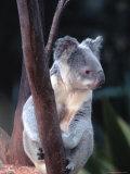 Koala, Australia Photographic Print by Ernest Manewal