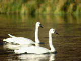 Two Trumpeter Swans, Yellowstone National Park, WY Photographic Print by Elizabeth DeLaney