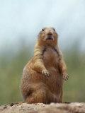 Prairie Dog Fotografisk tryk af Lauree Feldman