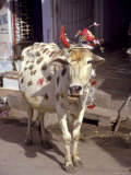 Painted Sacred Cow, Udaipur, Rajasthan, India Photographic Print