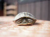 Box Turtle Hiding in Shell, KY Photographic Print by Bill Romerhaus